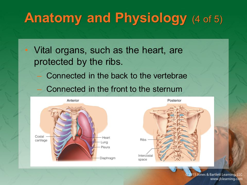 Anatomy and Physiology (5 of 5) The mediastinum contains the heart, great vessels, esophagus, and trachea.