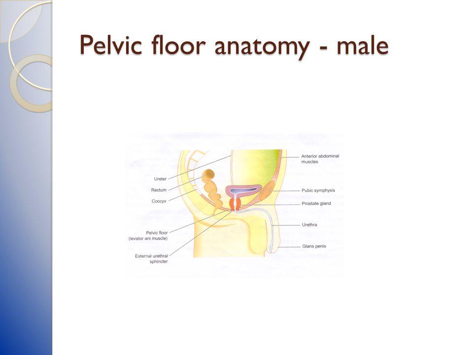 Pelvic floor anatomy - male