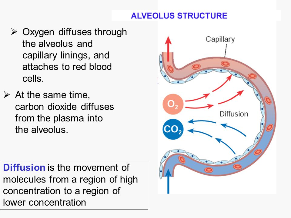  Oxygen diffuses through the alveolus and capillary linings, and attaches to red blood cells. Diffusion is the movement of molecules from a region of