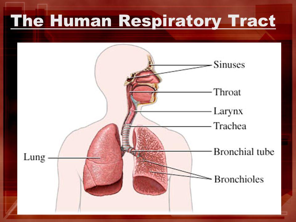 The Human Respiratory Tract