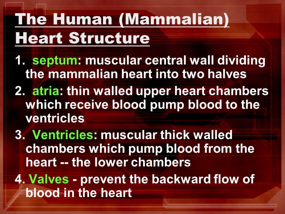 The Human (Mammalian) Heart Structure 1.