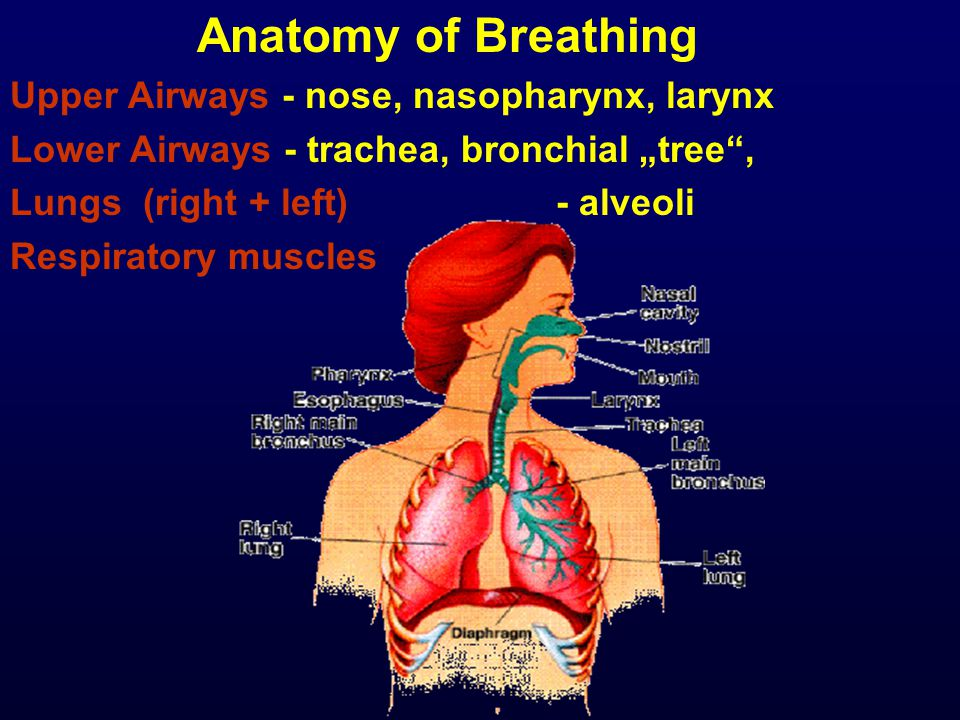 "Anatomy of Breathing Upper Airways - nose, nasopharynx, larynx Lower Airways - trachea, bronchial ""tree , Lungs (right + left) - alveoli Respiratory muscles"