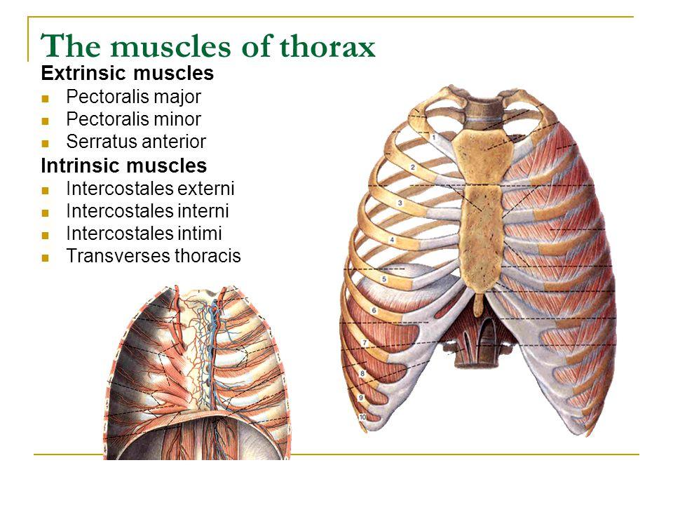 The muscles of thorax Extrinsic muscles Pectoralis major Pectoralis minor Serratus anterior Intrinsic muscles Intercostales externi Intercostales inte