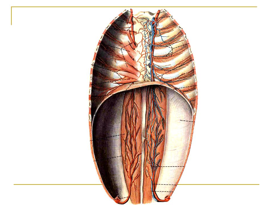 Intercostales externi Origin: lower border of ri Ⅱ ) Insertion: upper border of rib below origin Action: elevate ribs adding in forced inspiration Replaced anteriorly by external intercostals membrane.
