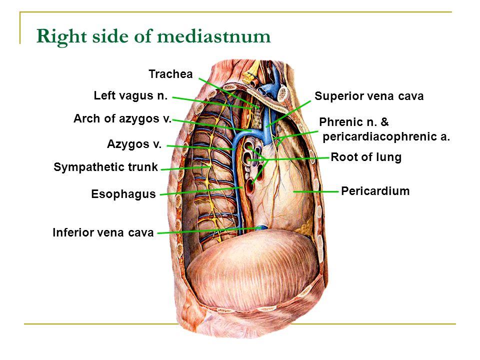 Right side of mediastnum Root of lung Pericardium Superior vena cava Phrenic n. & pericardiacophrenic a. Left vagus n. Azygos v. Sympathetic trunk Eso