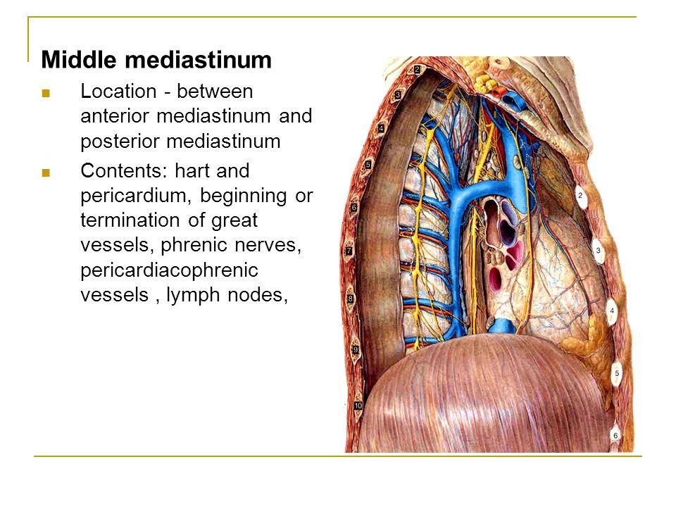 Middle mediastinum Location - between anterior mediastinum and posterior mediastinum Contents: hart and pericardium, beginning or termination of great