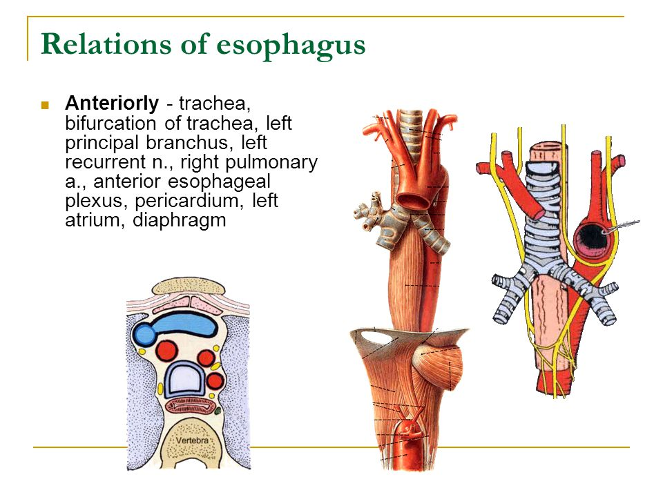 Relations of esophagus Anteriorly - trachea, bifurcation of trachea, left principal branchus, left recurrent n., right pulmonary a., anterior esophage