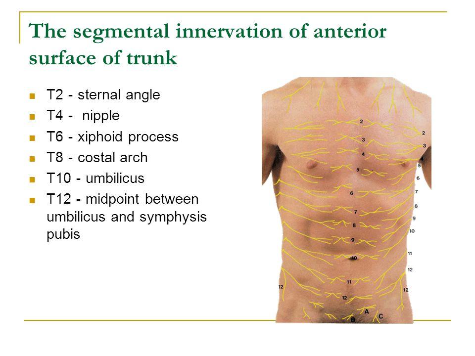 Thoracic wall Skin Superficial fascia  Thoracoepigastric v.