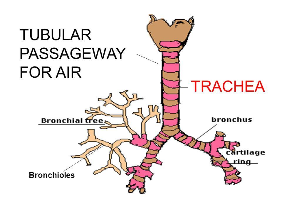 RESPIRATORY TRACT Bronchi