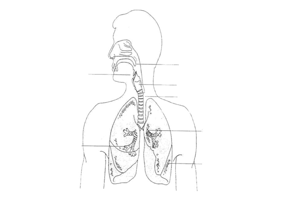 RESPIRATORY TRACT Bronchi Epiglottis