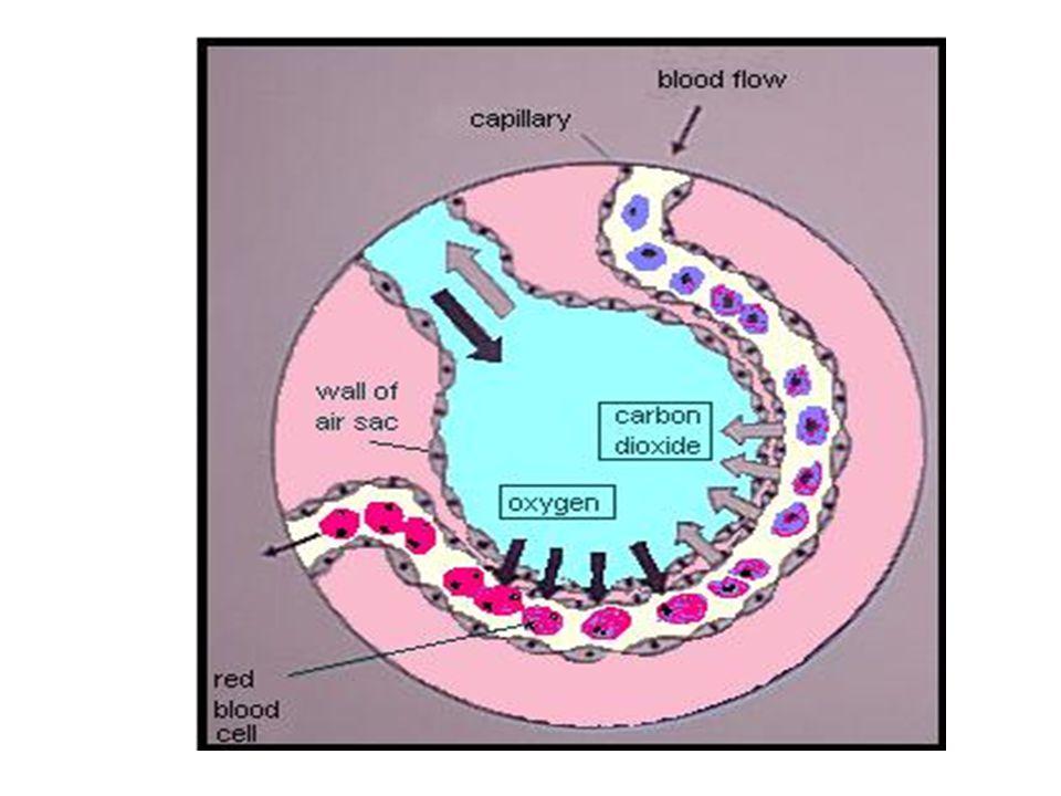 Gaseous Exchange Alveoli – Capillary Interface