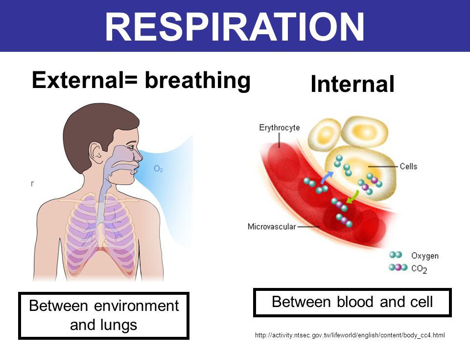RESPIRATORY SYSTEM 1.External respiration 2.Internal respiration