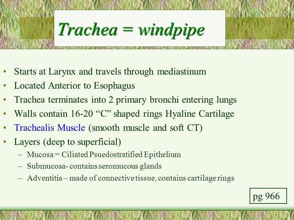 Trachea = windpipe Starts at Larynx and travels through mediastinum Located Anterior to Esophagus Trachea terminates into 2 primary bronchi entering l