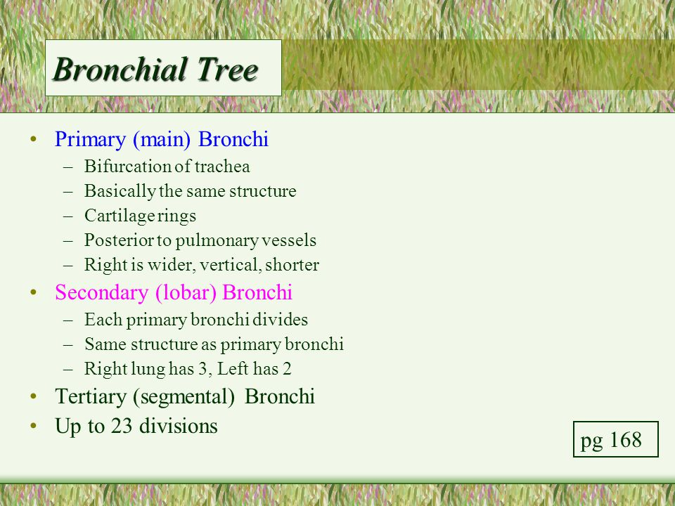 Bronchial Tree Primary (main) Bronchi –Bifurcation of trachea –Basically the same structure –Cartilage rings –Posterior to pulmonary vessels –Right is