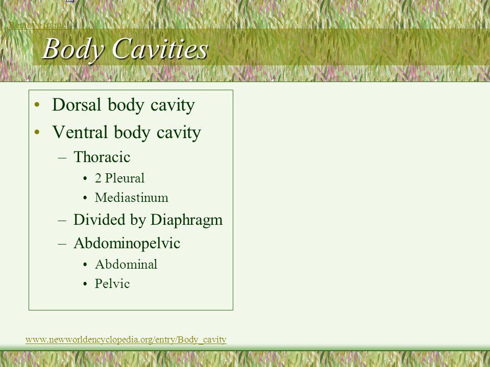 Body Cavities Dorsal body cavity Ventral body cavity –Thoracic 2 Pleural Mediastinum –Divided by Diaphragm –Abdominopelvic Abdominal Pelvic www.newwor