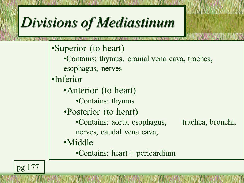 Divisions of Mediastinum Superior (to heart) Contains: thymus, cranial vena cava, trachea, esophagus, nerves Inferior Anterior (to heart) Contains: th