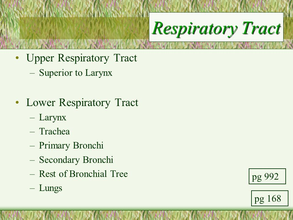 Respiratory Tract Upper Respiratory Tract –Superior to Larynx Lower Respiratory Tract –Larynx –Trachea –Primary Bronchi –Secondary Bronchi –Rest of Br