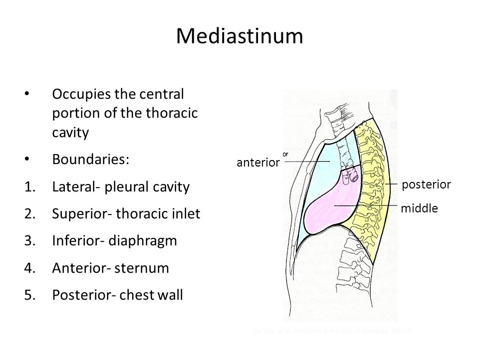 Mediastinum Occupies the central portion of the thoracic cavity Boundaries: 1.Lateral- pleural cavity 2.Superior- thoracic inlet 3.Inferior- diaphragm