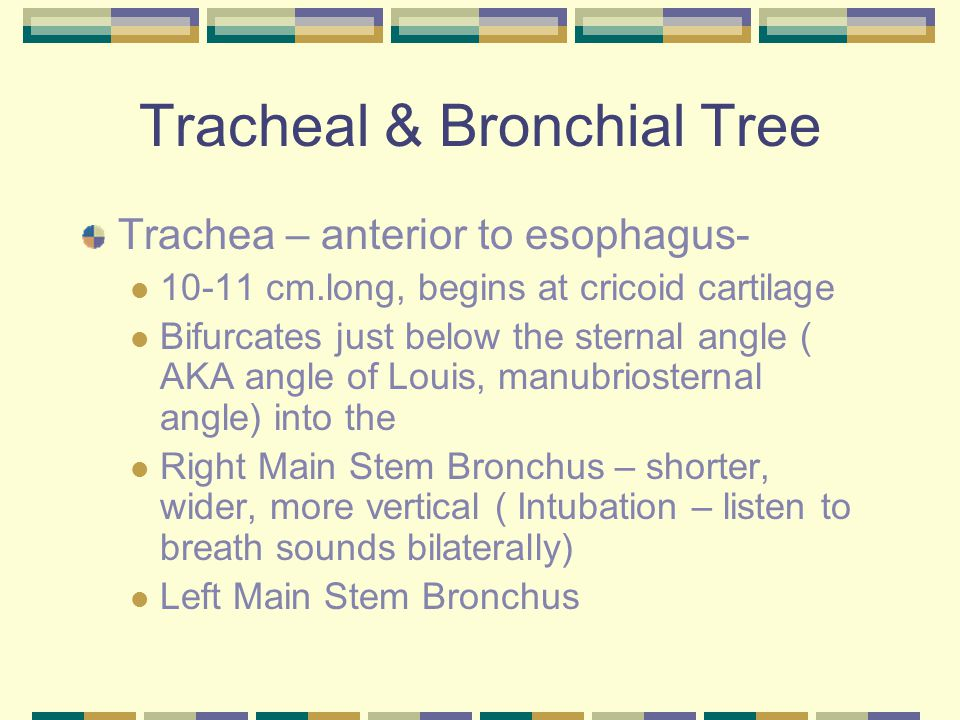 Tracheal & Bronchial Tree Trachea – anterior to esophagus- 10-11 cm.long, begins at cricoid cartilage Bifurcates just below the sternal angle ( AKA angle of Louis, manubriosternal angle) into the Right Main Stem Bronchus – shorter, wider, more vertical ( Intubation – listen to breath sounds bilaterally) Left Main Stem Bronchus