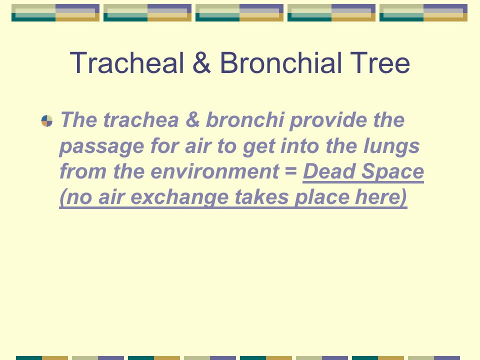 Tracheal & Bronchial Tree The trachea & bronchi provide the passage for air to get into the lungs from the environment = Dead Space (no air exchange t