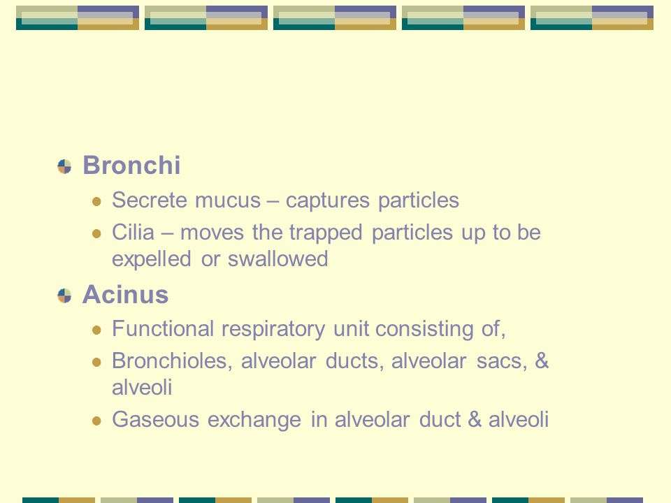 Bronchi Secrete mucus – captures particles Cilia – moves the trapped particles up to be expelled or swallowed Acinus Functional respiratory unit consi