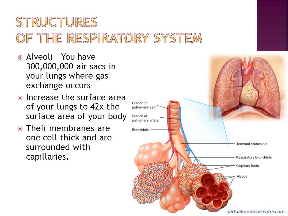  Alveoli – You have 300,000,000 air sacs in your lungs where gas exchange occurs  Increase the surface area of your lungs to 42x the surface area of