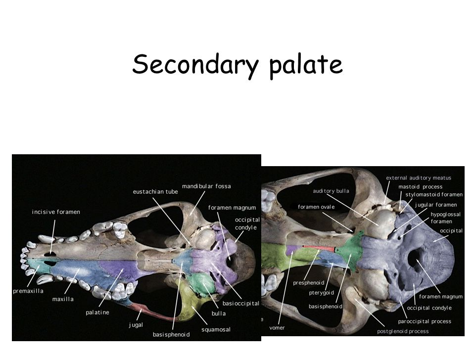 Secondary palate