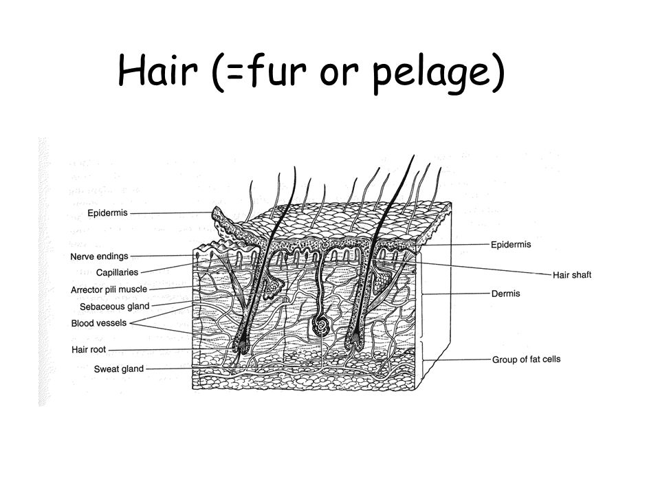 Hair (=fur or pelage)