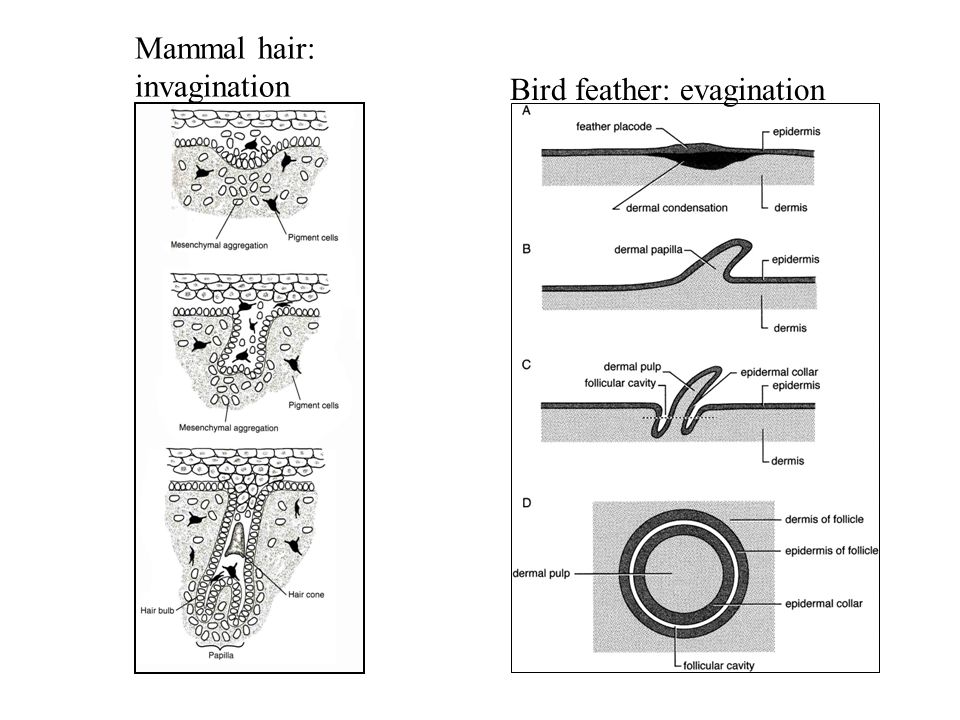 Mammal hair: invagination Bird feather: evagination