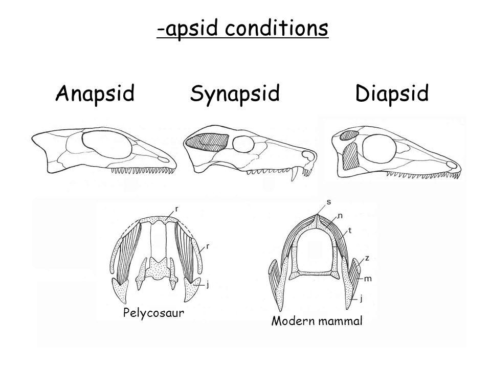 -apsid conditions AnapsidSynapsidDiapsid Pelycosaur Modern mammal