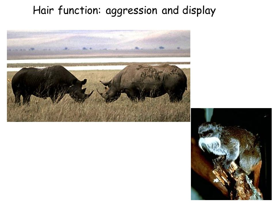 Hair function: aggression and display