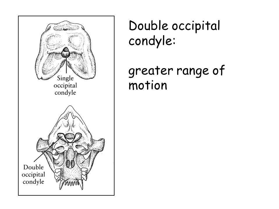 Double occipital condyle: greater range of motion