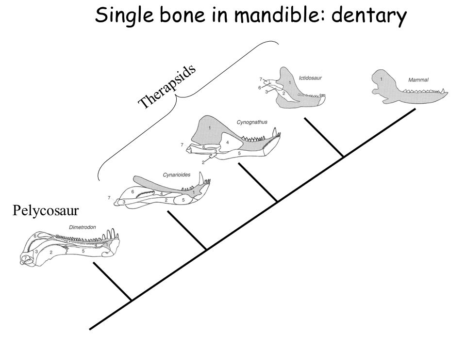 Pelycosaur Therapsids Single bone in mandible: dentary
