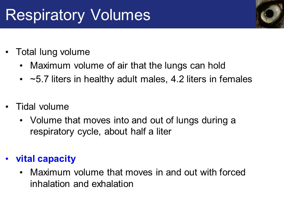 Respiratory Volumes Total lung volume Maximum volume of air that the lungs can hold ~5.7 liters in healthy adult males, 4.2 liters in females Tidal volume Volume that moves into and out of lungs during a respiratory cycle, about half a liter vital capacity Maximum volume that moves in and out with forced inhalation and exhalation