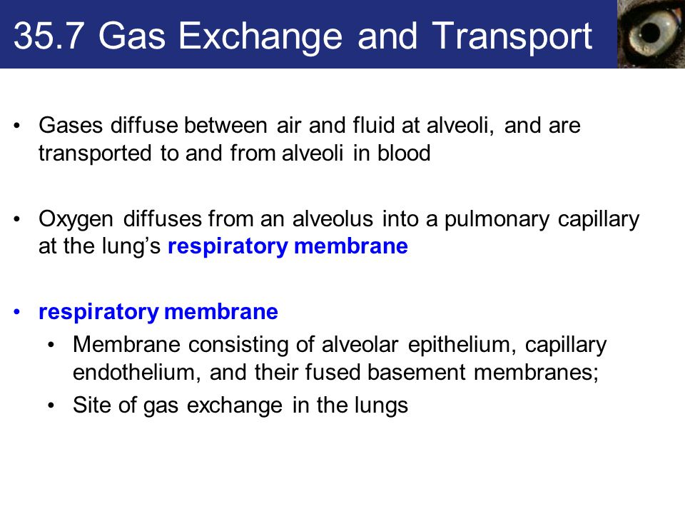 35.7 Gas Exchange and Transport Gases diffuse between air and fluid at alveoli, and are transported to and from alveoli in blood Oxygen diffuses from an alveolus into a pulmonary capillary at the lung's respiratory membrane respiratory membrane Membrane consisting of alveolar epithelium, capillary endothelium, and their fused basement membranes; Site of gas exchange in the lungs