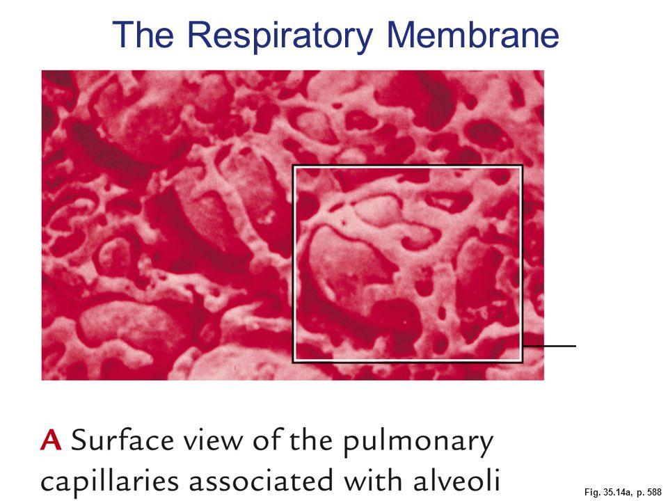 Fig. 35.14a, p. 588 The Respiratory Membrane