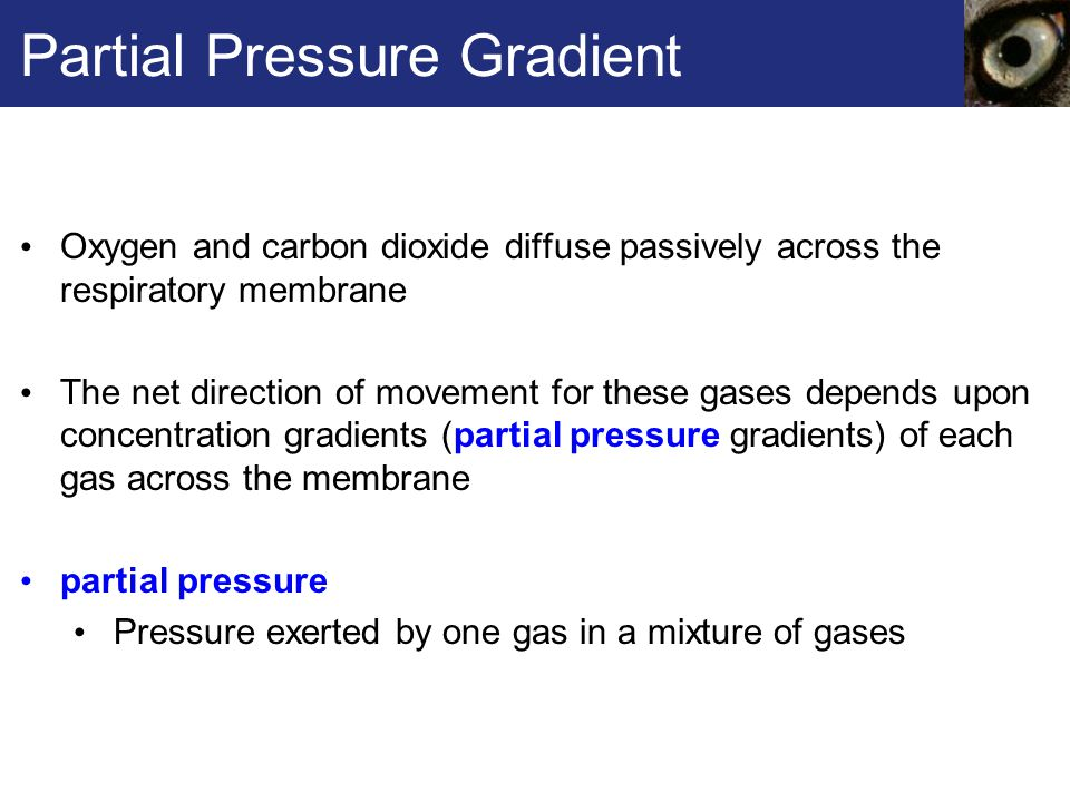 Partial Pressure Gradient Oxygen and carbon dioxide diffuse passively across the respiratory membrane The net direction of movement for these gases depends upon concentration gradients (partial pressure gradients) of each gas across the membrane partial pressure Pressure exerted by one gas in a mixture of gases
