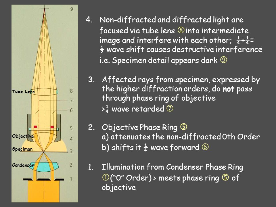 1.Illumination from Condenser Phase Ring  ( 0 Order) > meets phase ring  of objective 2.Objective Phase Ring  a) attenuates the non-diffracted 0th Order b) shifts it ¼ wave forward  3.Affected rays from specimen, expressed by the higher diffraction orders, do not pass through phase ring of objective >¼ wave retarded  4.Non-diffracted and diffracted light are focused via tube lens  into intermediate image and interfere with each other; ¼+¼= ½ wave shift causes destructive interference i.e.