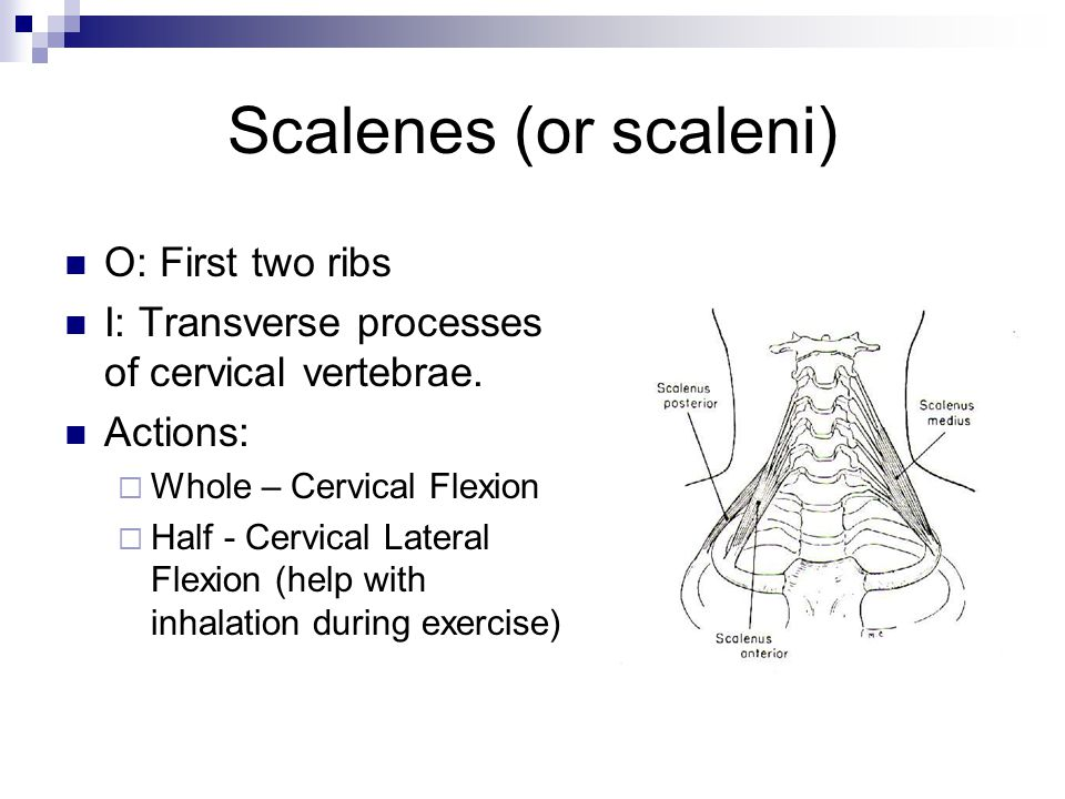 Scalenes (or scaleni) O: First two ribs I: Transverse processes of cervical vertebrae. Actions:  Whole – Cervical Flexion  Half - Cervical Lateral F