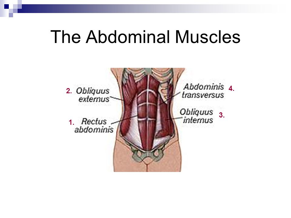 The Abdominal Muscles 1. 2. 3. 4.