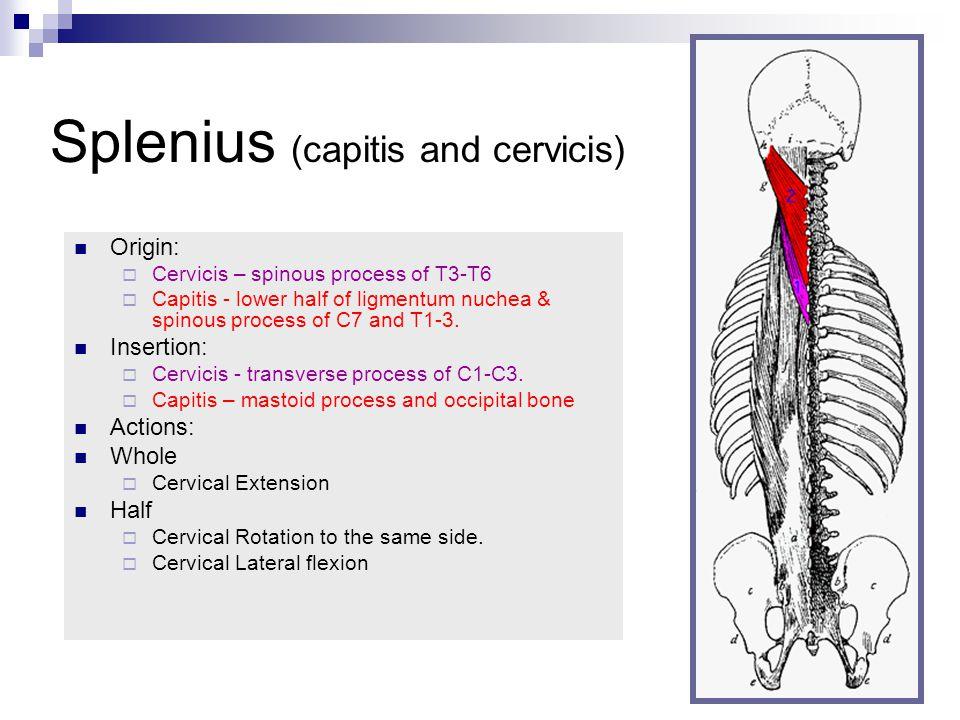 Splenius (capitis and cervicis) Origin:  Cervicis – spinous process of T3-T6  Capitis - lower half of ligmentum nuchea & spinous process of C7 and T1-3.