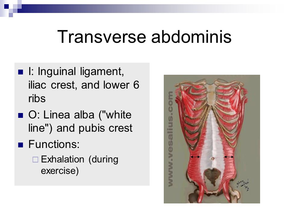 Transverse abdominis I: Inguinal ligament, iliac crest, and lower 6 ribs O: Linea alba ( white line ) and pubis crest Functions:  Exhalation (during exercise)