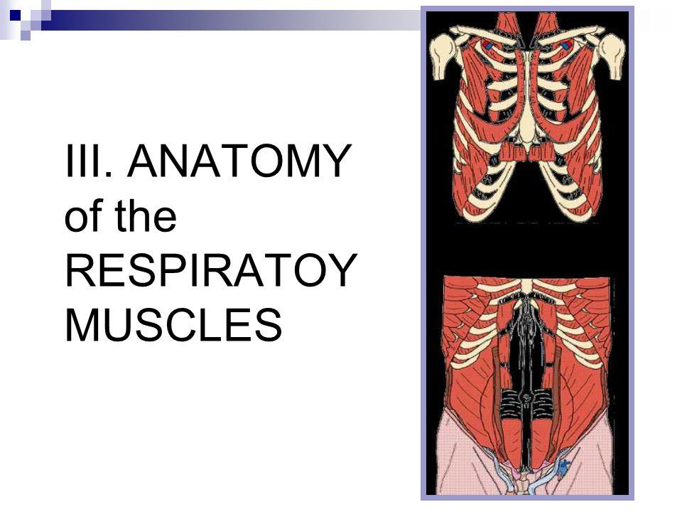III. ANATOMY of the RESPIRATOY MUSCLES