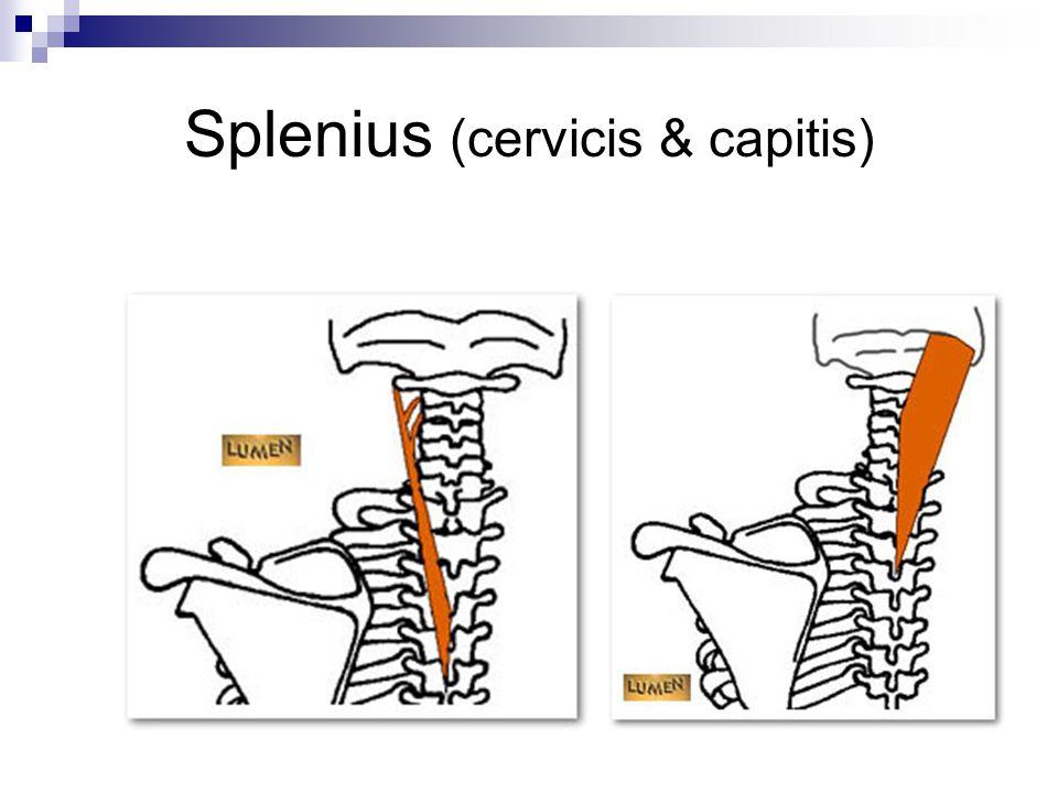 Splenius (cervicis & capitis)
