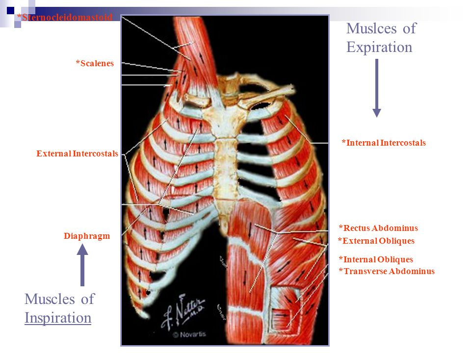 Muscles of Inspiration Muslces of Expiration *Sternocleidomastoid *Scalenes *Rectus Abdominus *Transverse Abdominus *External Obliques *Internal Obliq