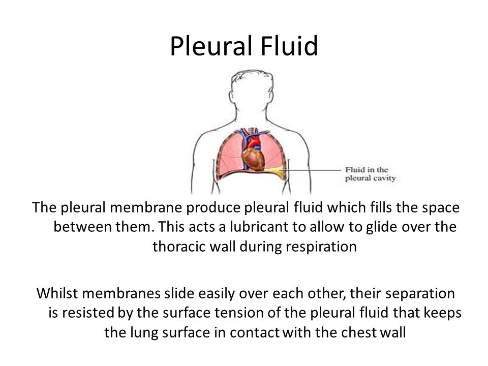 Visceral Pleura The visceral pleura is the innermost of the two pleural membranes. It covers the surface of the lung and dips into the spaces between