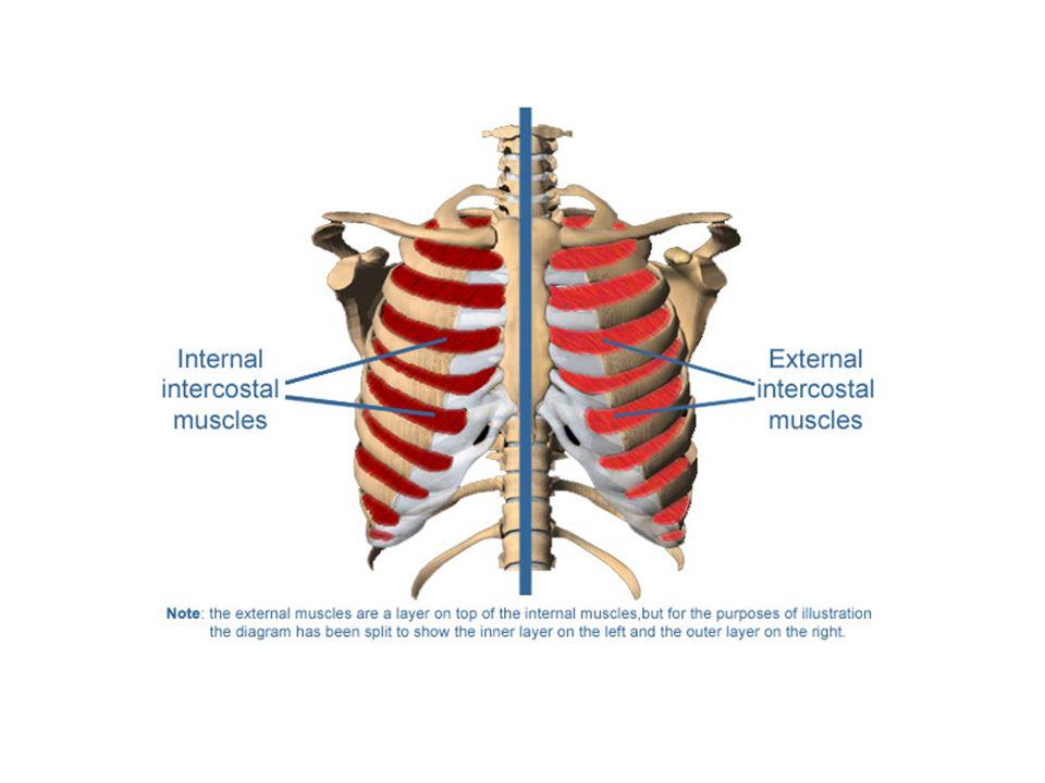 Pleural Fluid The pleural membrane produce pleural fluid which fills the space between them.