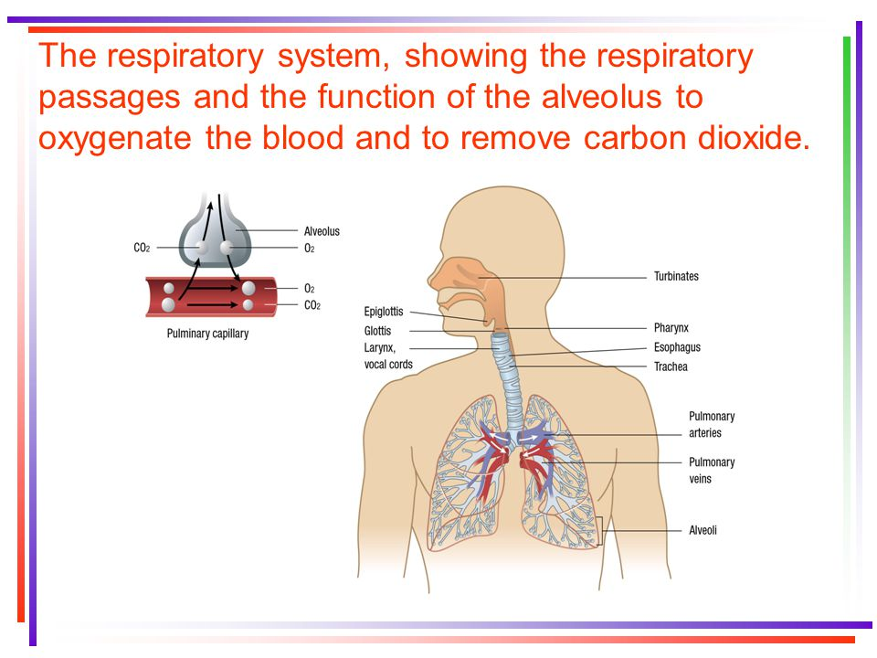 The respiratory system, showing the respiratory passages and the function of the alveolus to oxygenate the blood and to remove carbon dioxide.