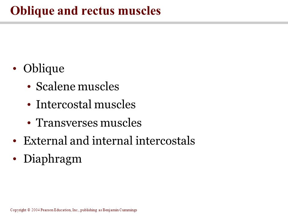 Copyright © 2004 Pearson Education, Inc., publishing as Benjamin Cummings Oblique Scalene muscles Intercostal muscles Transverses muscles External and internal intercostals Diaphragm Oblique and rectus muscles