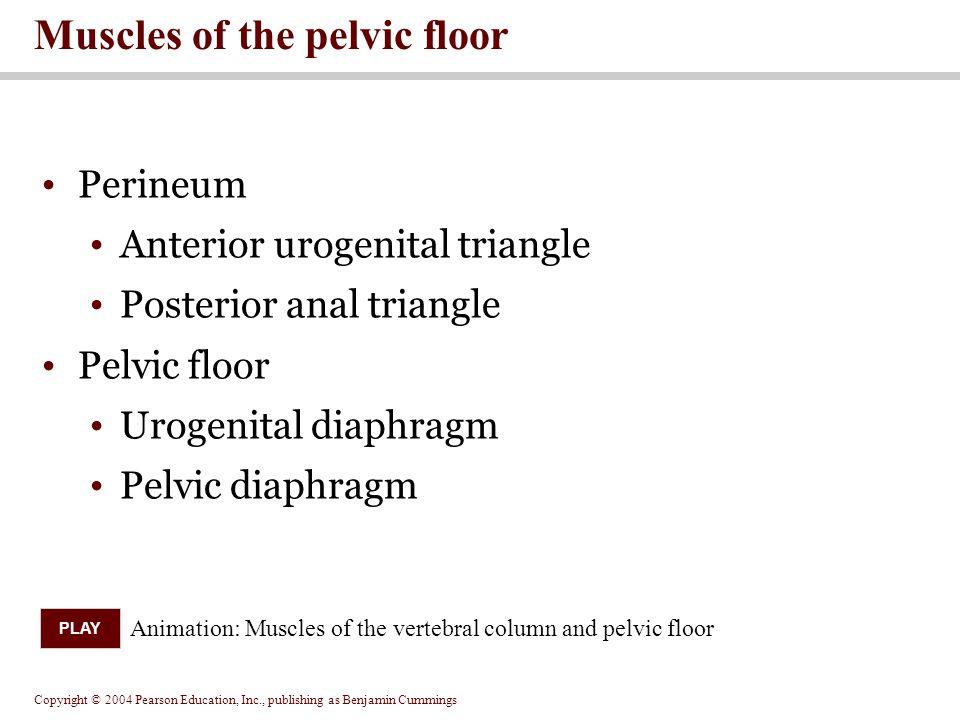Copyright © 2004 Pearson Education, Inc., publishing as Benjamin Cummings Perineum Anterior urogenital triangle Posterior anal triangle Pelvic floor U